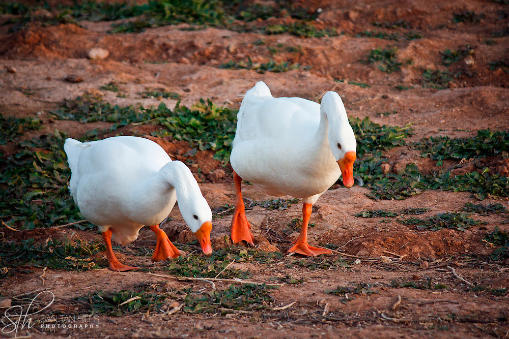 Two geese examining the grounds for food - Riparian Preserve, Gilbert, AZ