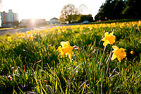 The daffodils bloom in March at Beacon Hill Park in Victoria, BC