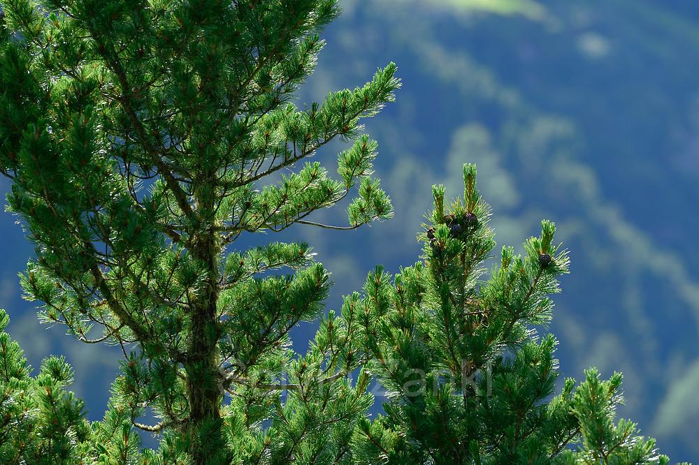 Cones of Swiss Stone Pine (Pinus cembra), Arolla Pine, High Tauern National Park (Nationalpark Hohe Tauern), Central Eastern Alps, Austria   Zirbel-Kiefer (Pinus cembra), Zirbelkiefer, Zirbel, Arve, Zapfen, Oberhauser Zirmwald, Nationalpark Hohe Tauern, , Osttirol in Österreich