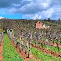 Vineyard in the Tokaj hills in North Hungary