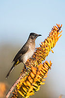 Dark-Capped Bulbul, Kruger National Park, Limpopo, South Africa