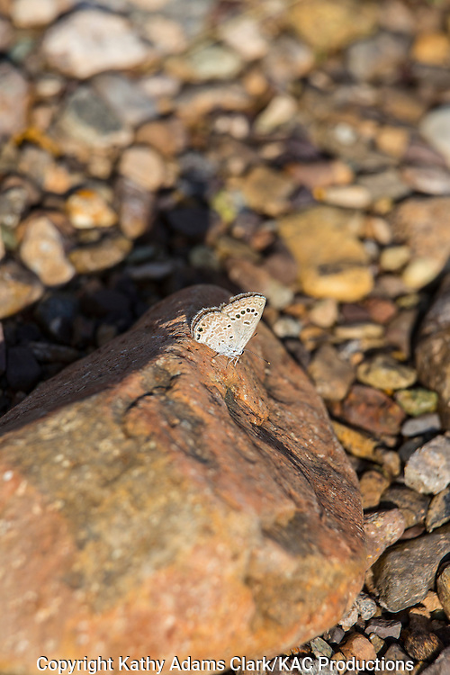 Reakirt's Blue,  Echinargus isola; butterfly perching on rock  at the Panther Junction visitor center in Big Bend National Park, Texas in late summer.
