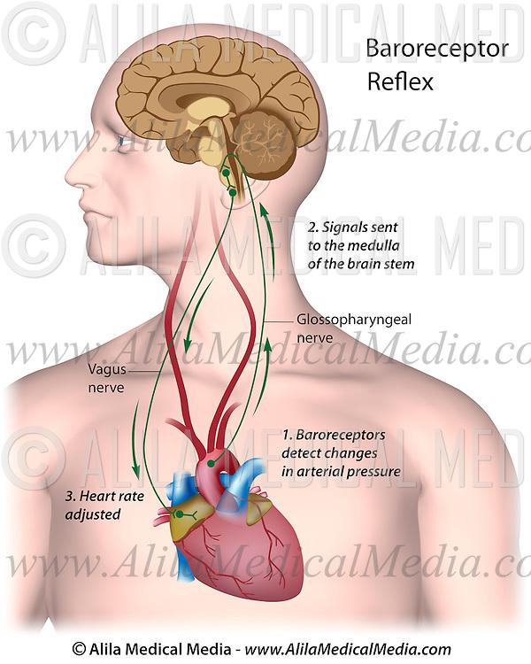 Regulation of blood pressure   Alila Medical Images