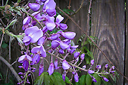 I found this lavender Wisteria on fence in my neighborhood.