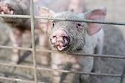 A new piglet on Jeremiah Jones' Beaulaville, NC pig farm - Grassroots Pork Co.
