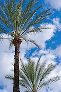 Palm, Tree, palm, tree s, CA, Fan Palm, native, Arecaceae, Palmae, Palmaceae California, palm, leaves
