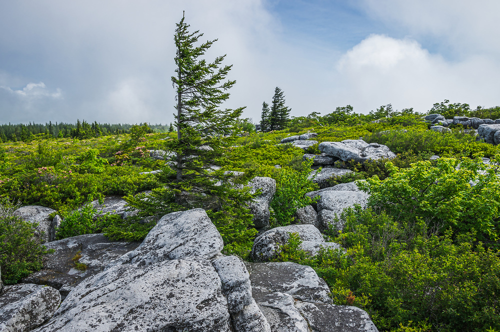 Flagged pine mark the distinctive rocky outcroppings of Bear Rocks in the Dolly Sods Wilderness Area of West Virginia, surrounded by the summer greens of laurel, huckleberry and blueberry bushes.