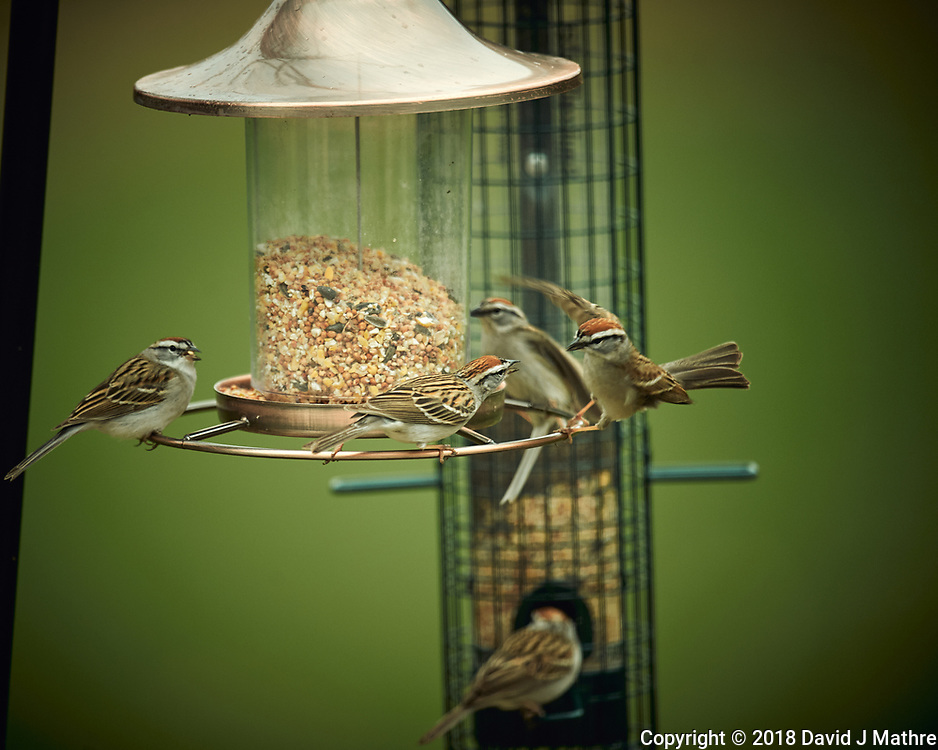 Chipping Sparrow Image taken with a Nikon D4 camera and 600 mm f/4 VR lens (ISO 450, 600 mm, f/4, 1/800 sec).