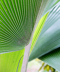 detail of a Palm Leaf in Florida