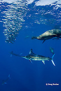 California sea lions, Zalophus californianus, and striped marlin, Kajikia audax (formerly Tetrapturus audax ), feeding on baitball of sardines, or pilchards, Sardinops sagax, off Baja California, Mexico ( Eastern Pacific Ocean )