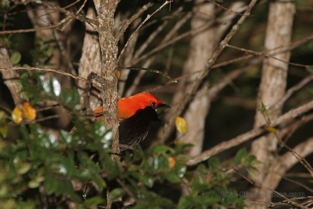 Crested Satinbird, Cnemophilus macgregorii, Papua New Guinea, by Adam Riley