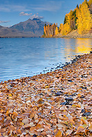 Fallen leaves covering the shore of Lake McDonald, Glacier National Park Montana USA