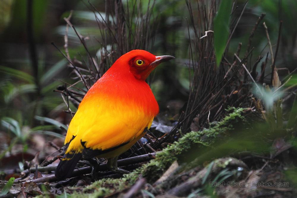 Flame Bowerbird, Sericulus ardens, Papua New Guinea, by Markus Lilje