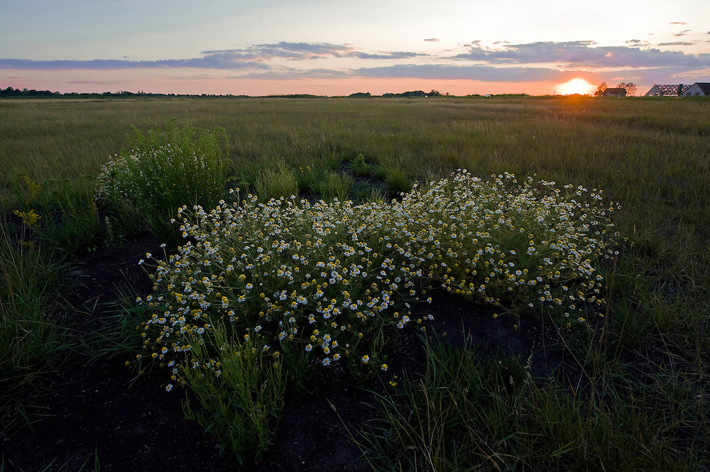 German chamomile (Matricaria recutita) bush on the infinitive grassland of Hortobagy National Park, Hungary