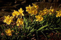 Daffodils in Bloom -- Two Days from Spring. Image taken with a Leica X1 (ISO 100, 24 mm, f/3.2, 1/1000 sec).