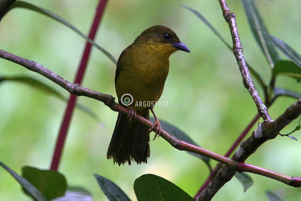 Ilha Bela, SP, Brasil  07/2004.Passarinho./ Bird..Daniel Augusto Jr./Argosfoto