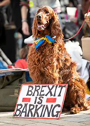 """© Licensed to London News Pictures. 07/10/2018. London, UK. A Red Setter stands with a sign saying Brexit is Barking as  pro-remain dog owners march to Parliament to demand a """"People's Vote"""" on the final Brexit agreement.  Photo credit: Peter Macdiarmid/LNP"""