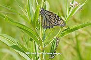 03536-04907 Monarch (Danaus plexippus) butterfly and caterpillar larva on host plant Swamp Milkweed (Asclepias incarnata) Marion Co., IL