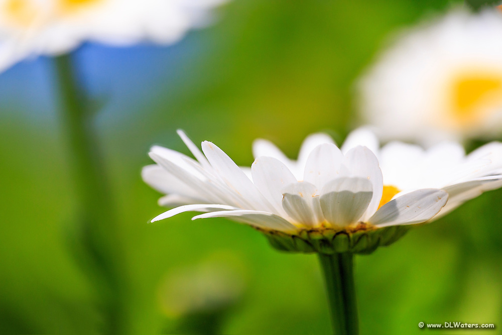A close-up of a white daisy using selective focusing at a Outer Banks  garden.