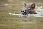 A wild Russian boar swims in the bayou in Louisiana, North  America