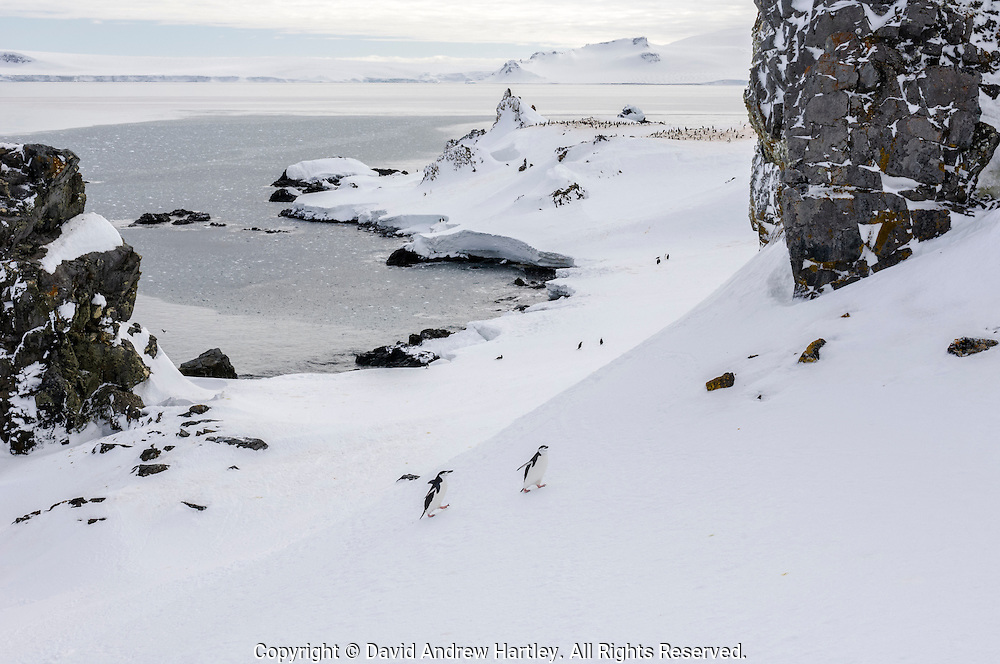 Two Chinstrap penguins (Pygoscelis antarctica) walk up a snow covered hill to their rookery at Half Moon Bay, Half Moon Island, Antarctica.