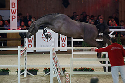 089, Coupris<br /> Hengstenkeuring BWP - Lier 2018<br /> © Hippo Foto - Dirk Caremans<br /> 19/01/2018090, Cello vd Bisschop Z<br /> Hengstenkeuring BWP - Lier 2018<br /> © Hippo Foto - Dirk Caremans<br /> 19/01/2018
