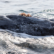Surface view of an adult female humpback whale's hemispherical lobe and mammary slits. This whale surfaced in close proximity to our boat multiple times, rolling over so her belly was facing up and her mammary slits and hemispherical lobe exposed at surface for an extended period of time. She exhibited this and other social behaviour repeatedly, as if displaying. She was with another adult whale. My guess is that the other whale was male. Prominent are Coronula diadema acorn barnacles, which are found only on humpback whales, and Conchoderma auritum gooseneck barnacles, which are found only on Coronula diadema barnacles.