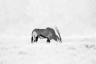The Oryx (or Gemsbok) is a large antelope in the Oryx genus. It is native to the arid regions of Southern Africa, such as the Kalahari. Their fur is pale with contrasting dark markings in the face and on the legs, and their long horns are almost straight. The exception is the scimitar oryx, which lacks dark markings on the legs, only has faint dark markings on the head, has an ochre neck, and horns that are clearly decurved.