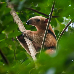 """""""Tamanduá-mirim (Tamandua tetradactyla) fotografado em Linhares, norte do Espírito Santo -  Sudeste do Brasil. Bioma Mata Atlântica. Registro feito em 2018.<br /> ⠀<br /> ⠀<br /> <br /> <br /> <br /> <br /> ENGLISH: Southern tamandua photographed in Linhares, North of Espírito Santo - Southeast of Brazil. Atlantic Forest Biome. Picture made in 2018."""""""