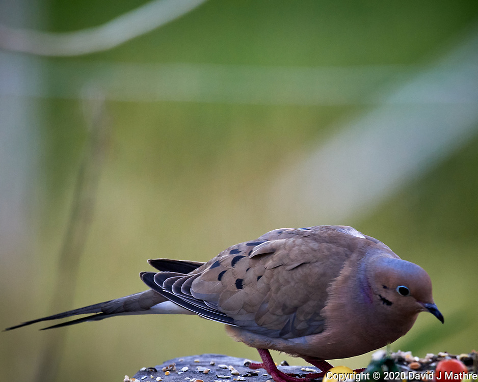 Mourning Dove. Image taken with a Nikon D5 camera and 600 mm f/4 VR lens (ISO 1600, 600 mm, f/5.6, 1/500 sec)