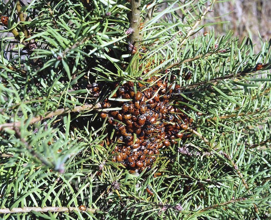 Lady Bug Cluster