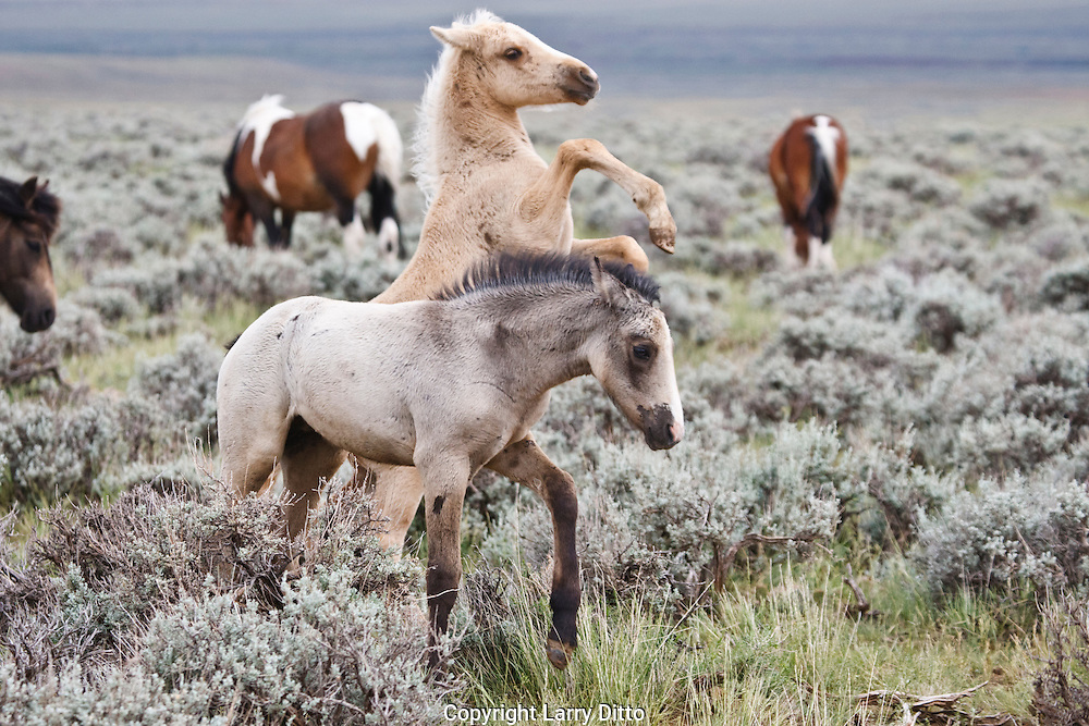 Wild Horse (Equus caballus) young in sagebrush prairie, Wyoming, USA