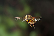 African hover fly (Eristalinus taeniops) also called the band-eyed drone fly, photographed with a high-speed camera outside Bulawayo, Zimbabwe. © Michael Durham / www.DurmPhoto.com
