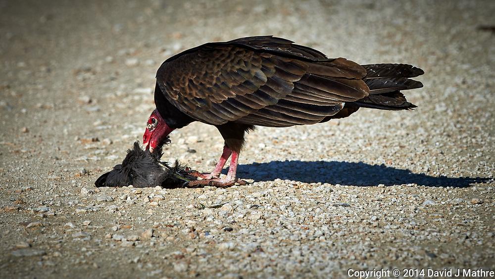 Turkey Vulture Having Brunch. Biolab Road, Merritt Island National Wildlife Refuge. Image taken with a Nikon D4 camera and 500 mm f/4 VR lens (ISO 450, 500 mm, f/8, 1/4000 sec).