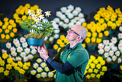 © Licensed to London News Pictures. 25/04/2018. Harrogate UK. Terry Staples put's the final touches to her display of Daffodils at the Harrogate Flower Show that open's tomorrow in Yorkshire. Photo credit: Andrew McCaren/LNP
