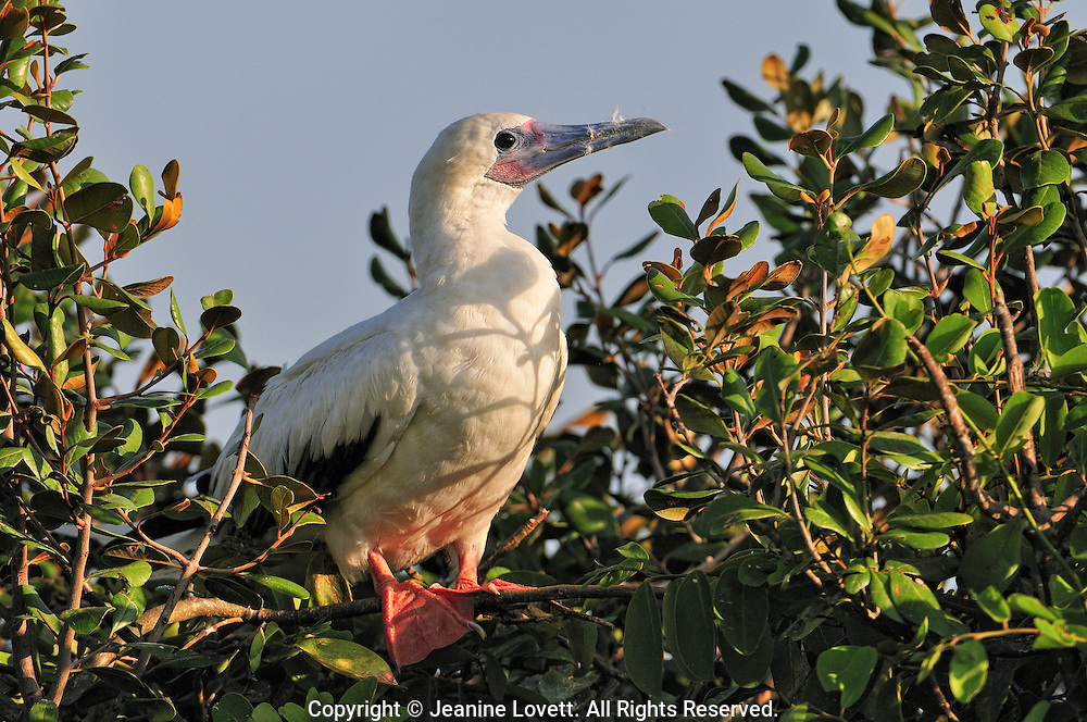 red footed booby bird portrait