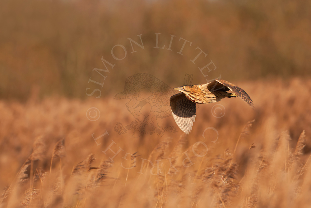 Great Bittern (Botaurus stellaris) adult, in flight over reedbed, Norfolk, UK.