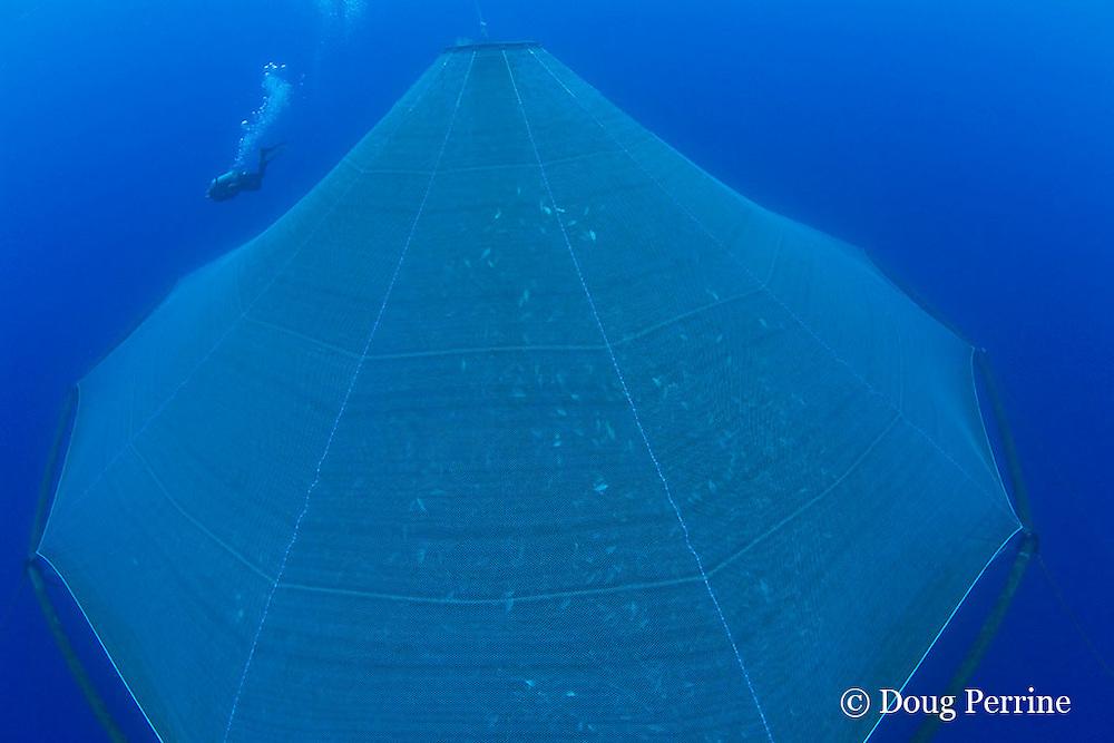 Kona Blue Water Farms co-owner Neil Sims inspects underwater net cage used for open ocean fish pen aquaculture full of Kona kampachi, Seriola rivoliana, also known as Hawaiian yellowtail, kahala, or almaco jack, Kona Coast, Hawaii Island ( the Big Island ), Hawaiian Islands, USA ( Central Pacific Ocean )