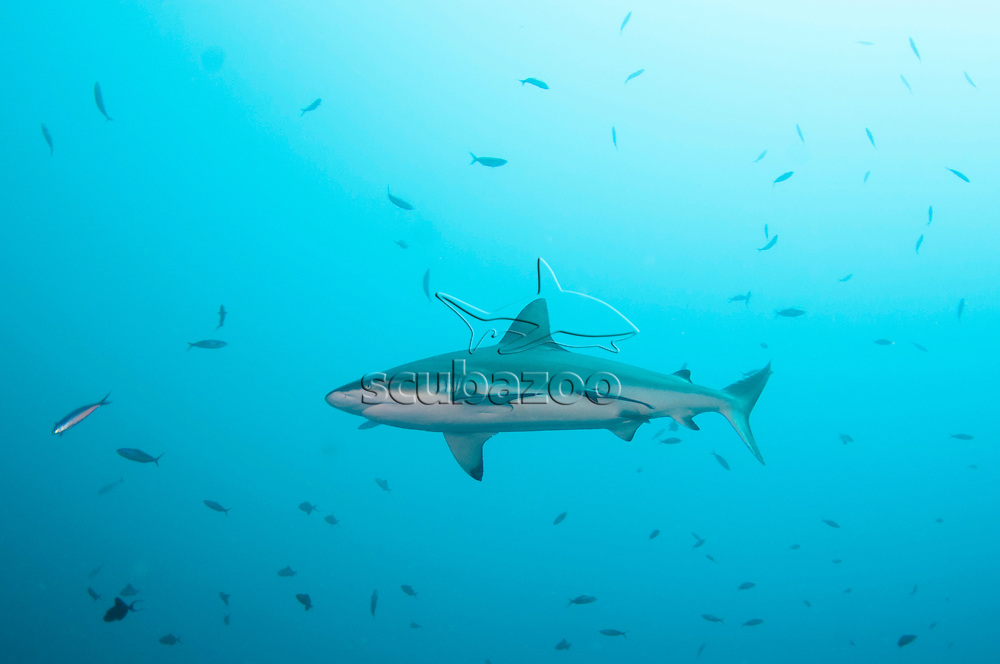 A Gray Reef Shark, Carcharhinus amblyrhynchos, swimming in the blue, Sipadan Island, Sabah, Malaysia.