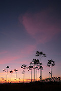 Subtle hues of pink clouds backdrop the iconic slash pines of the central Everglades