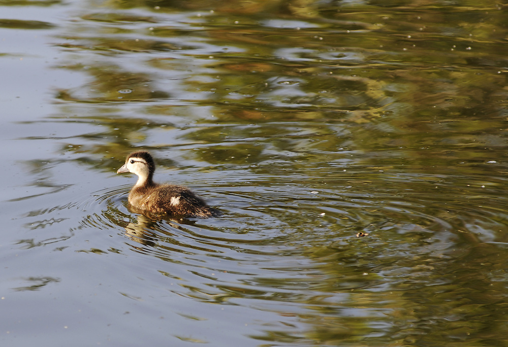 A baby Wood Duck swims.