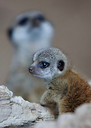 Five Meerkat pups were born on May 2015 in Edinburgh Zoo
