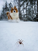 A spider makes his way across a foot of fresh snow at the border of Olympic NP.