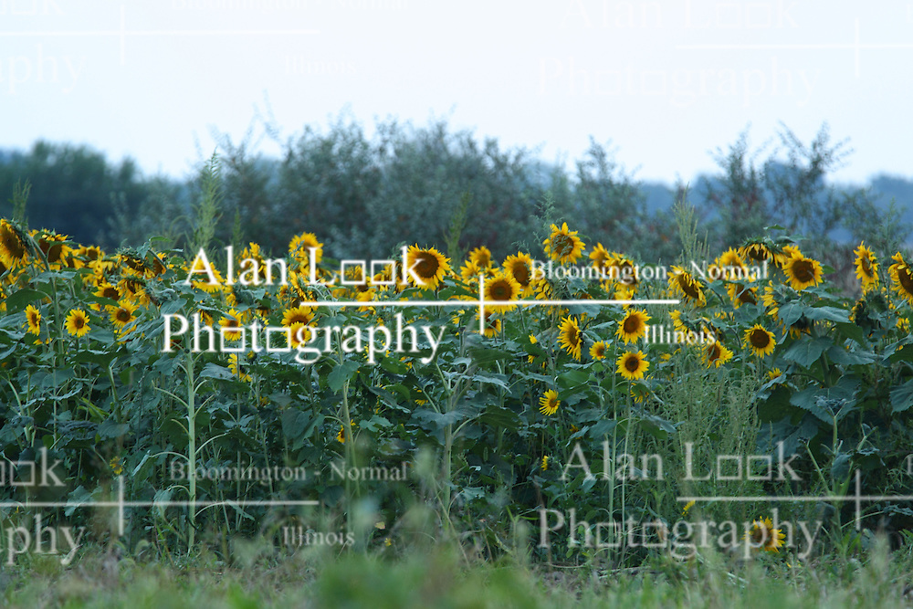 05 September 2015:   Helianthus or sunflowers  is a genus of plants comprising about 70 species in the family Asteraceae, all of which are native to North America except three species in South America<br /> <br /> Dawson Lake located in Moraine View State Park maintained by the Illinois Department of Natural Resources (IDNR) near Le Roy Illinois