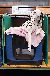© Licensed to London News Pictures. 10/03/2016. A Dalmatian dog in the benches area before a judging competition. Crufts celebrates its 12th anniversary as the Worlds largest dog show. Birmingham, UK. Photo credit: Ray Tang/LNP