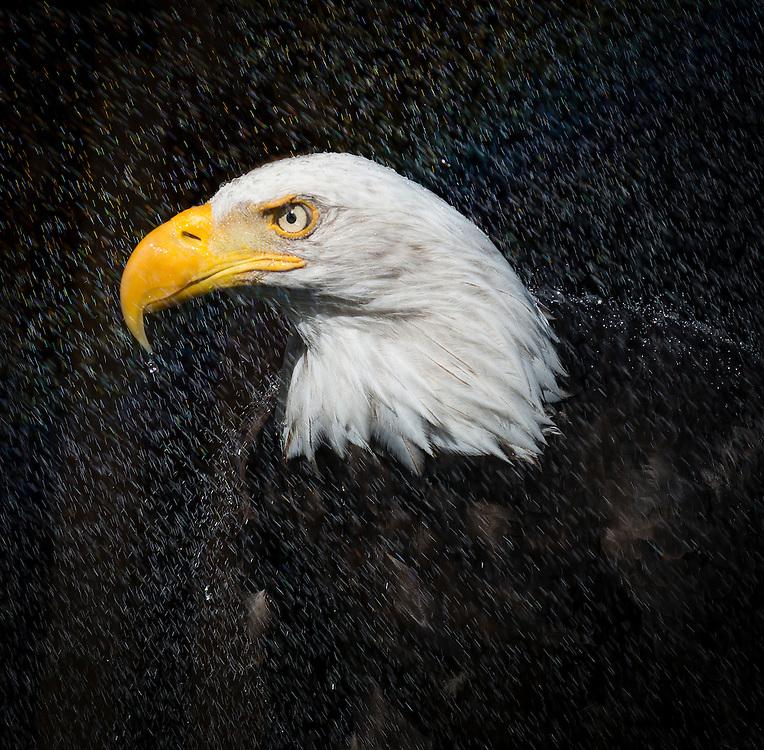 Bald Eagle, (Haliaeetus leucocephalus), Captive  credit: Palo Alto JMZ/M.D.Kern