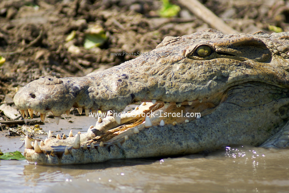 Tanzania wildlife safari Nile Crocodile (Crocodylus niloticus)