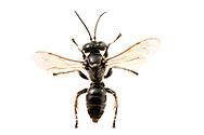 Square-headed Wasp (Liris sp.)<br /> United States: Alabama: Tuscaloosa Co.<br /> Tulip Tree Springs off Echola Rd.; Elrod<br /> 28-Jun-2016<br /> J.C. Abbott #2840 &amp; K.K. Abbott