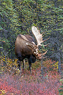 Alaskan bull moose thrashes small spruce tree with his antlers.