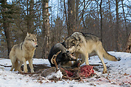 Two gray wolves fight over a deer carcass in wooded winter habitat while a third watches. Captive pack.